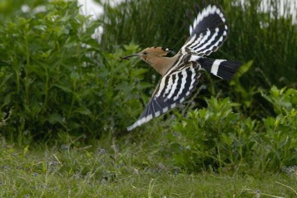 L 39 oiseau bonheur la huppe fasci e huppe 17000 faune for Oiseau a long bec